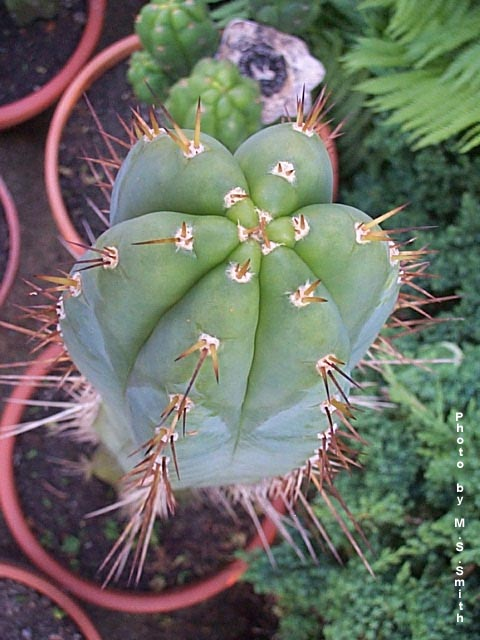 Trichocereus peruvianus /'MG Red Spine/' x OPEN Seed